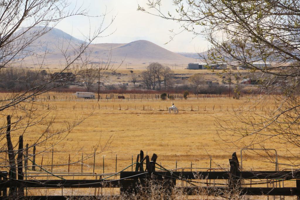 Pferede auf der Weide in Springerville