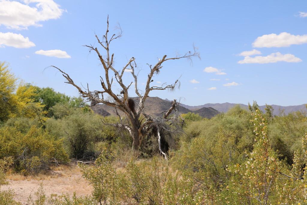 Baum an der Strasse nach Gila Bend