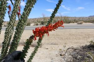 Rote Kaktusbluete