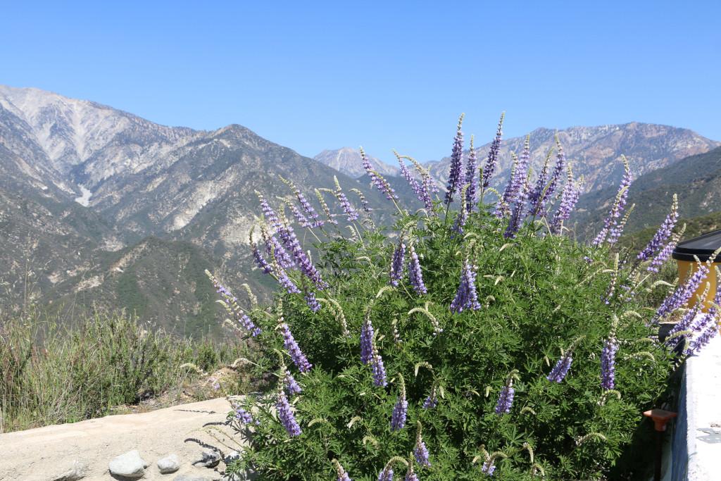 Lupinen auf dem Mount Baldy