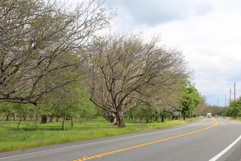 Alte Nussbäume 2