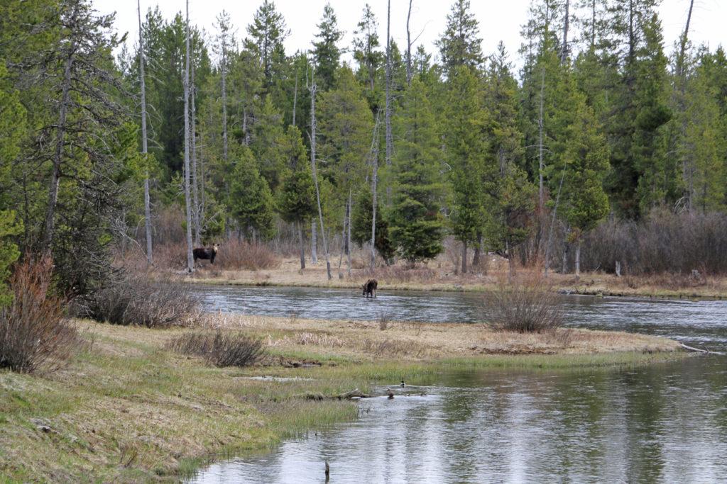 Elche vor dem Yellowstone National Park