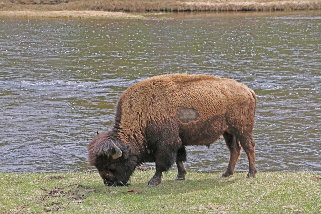Einzelner Bison