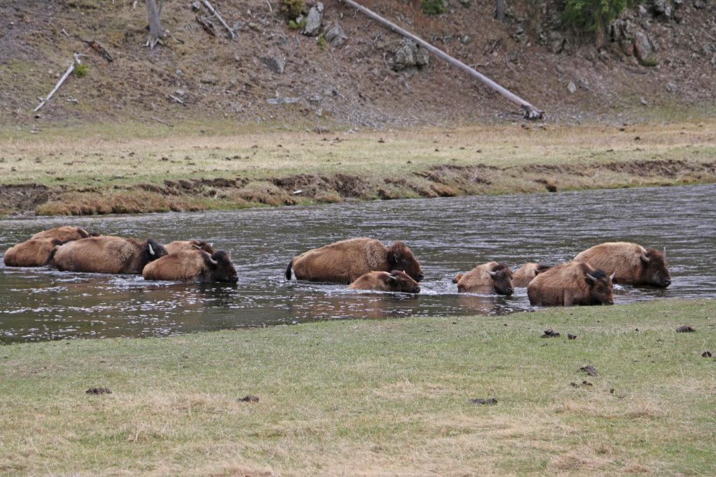 Bisons bei der Flussdurchquerung