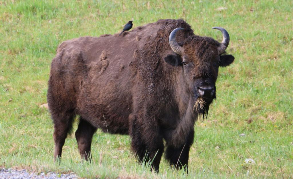 Bison mit Putzervogel